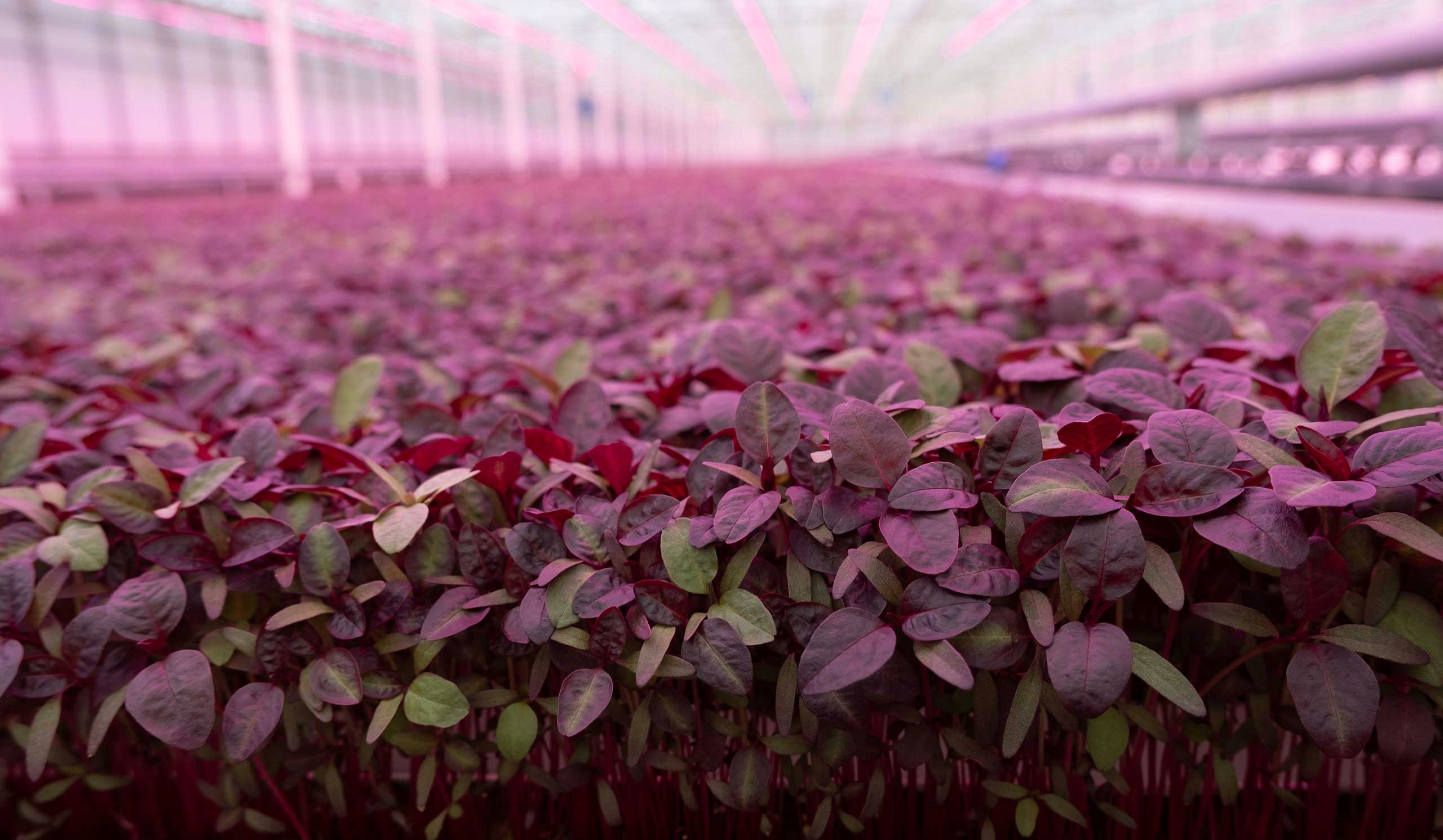 British Speciality Grower